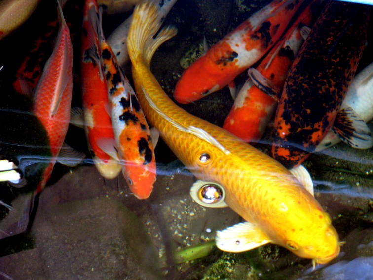 Koi koi food koizilla koi ponds water features pools for Imported koi fish