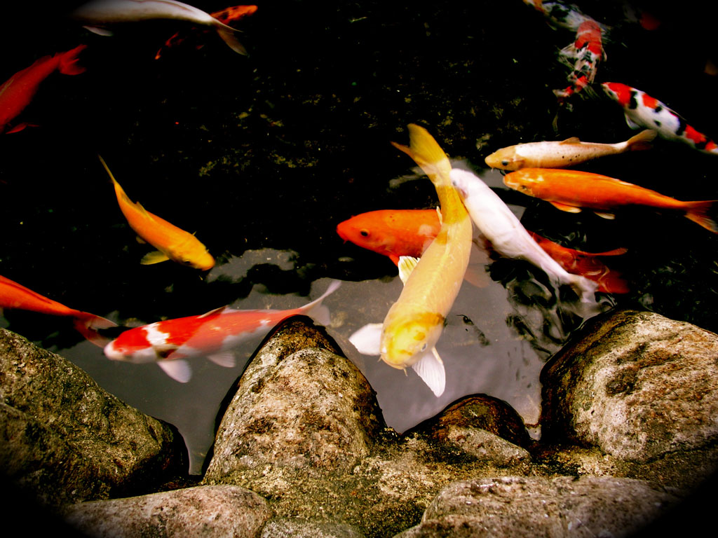 Koi koi food koizilla koi ponds water features pools for Koi pond fish